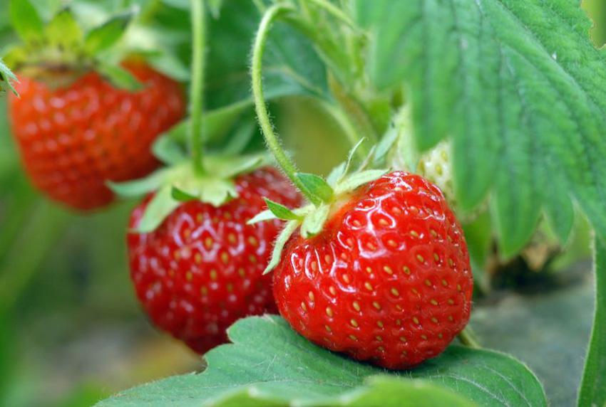 Gelijk hebben - Aardbeien en tomaten